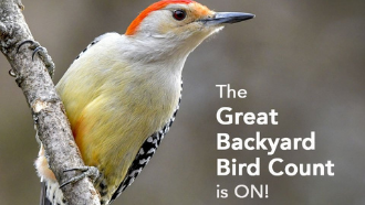 photo of a wild bird text: the great backyard bird count is on